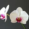 Orchid Blooms by Laurel Best