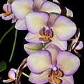 Orchid Blossoms I by Thomas Morrow