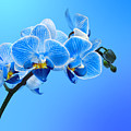 Orchid Blue by Mark Rogan