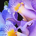 Orchid Bouquet by Cindy Manero