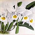 Orchid, C. Eldorado Virginalis, 1891 by Biodiversity Heritage Library