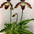 Orchid, C. Oenanthum Superbum, 1891 by Biodiversity Heritage Library