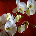White Orchid by Camelia C