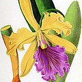 Orchid, Cattleya Dowiana, 1880 by Biodiversity Heritage Library