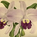 Orchid Venezula by J Nugent Fitch