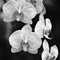 Orchid Cluster Close-up by Allan Seiden - Printscapes