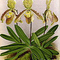 Orchid, Cypripedium Arthurianum,1891 by Biodiversity Heritage Library