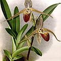 Orchid, Cypripedium Elliottianum, 1891 by Biodiversity Heritage Library