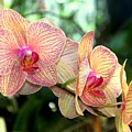 Orchid Delight by Karen Wiles