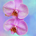 Orchid Delight - Two Blooms Against A Rainbow Background by Mitch Spence