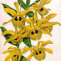 Orchid, Dendrobium Chrysotis, 1891 by Biodiversity Heritage Library