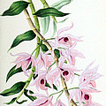 Orchid, Dendrobium Macrophyllum, 1880 by Biodiversity Heritage Library