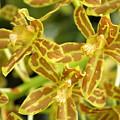 Orchid Drama Canvas by Carol Groenen