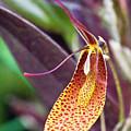 Orchid Flower - Restrepia Radulifera by Heiko Koehrer-Wagner