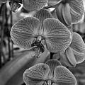 Orchid Glory Black And White by Ann Keisling