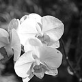 Orchid In Black And White by Timothy Markley