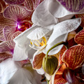 Orchid Iv by Christopher Holmes