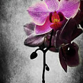 orchid IV by Hannes Cmarits