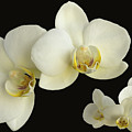 Orchid Montage by Hazy Apple