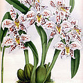 Orchid, O. Alexandrae Plumatum, 1891 by Biodiversity Heritage Library