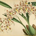 Orchid Odontoglossum Andersonianum Grenada  by J Nugent Fitch