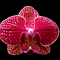 Orchid On Black 2 by J M Farris Photography