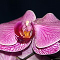 Orchid Orchid by Margaret Fortunato