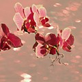 Orchid Petals In Pink by Irma BACKELANT GALLERIES