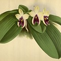 Orchid Phalaenopsis Violacea Singapore  by J Nugent Fitch