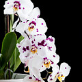 Orchid Phalaenopsis White Flower by Michalakis Ppalis