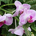 Orchid Pink by Ed Mosier