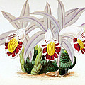 Orchid, Pleione Lagenaria, 1880 by Biodiversity Heritage Library