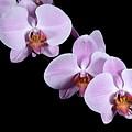 Pink Orchid I by Ralf Broskvar