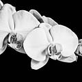 Orchid - Bw by Scott Pellegrin