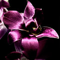 Orchid by Sheryl Thomas