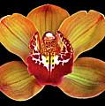 Orchid Splendor by Maria Ollman