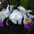 Orchid Splendor by Patricia R Moore