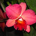 Orchid by Steve Karol