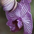 Orchid Strips by Deborah Benoit