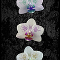 Orchid Trio by Hazy Apple