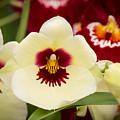 Orchid Vii by Sharin Gabl