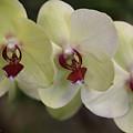 Orchid White Trio by Deborah Benoit