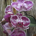 Orchid With Purple Patches by Lingfai Leung