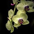 Orchids by Debbie Nobile