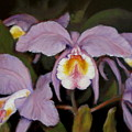 Orchids by Donelli  DiMaria