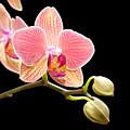 Orchids by Gabriela Insuratelu