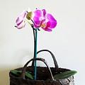 Orchids In A Basket by Marsha Heiken