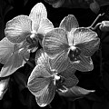 Orchids In Black And White by Ann Keisling