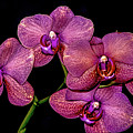 Orchids In Bloom by Euclid Viegas