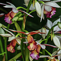 Orchids In Bloom by Robert Coffey